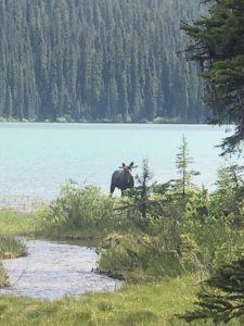 A MOOSE in Emerald Lake!